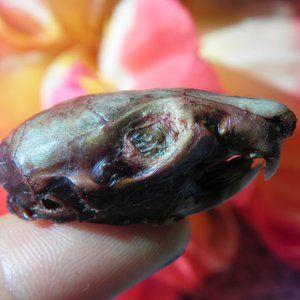No. 94 Taxidermy Mummified Rat Skull Head